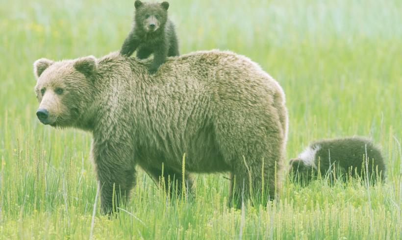 Bear Population