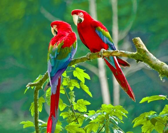 Twins Parrots