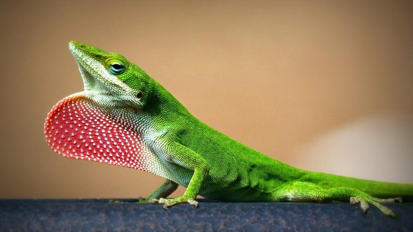 Strawberry Lizard