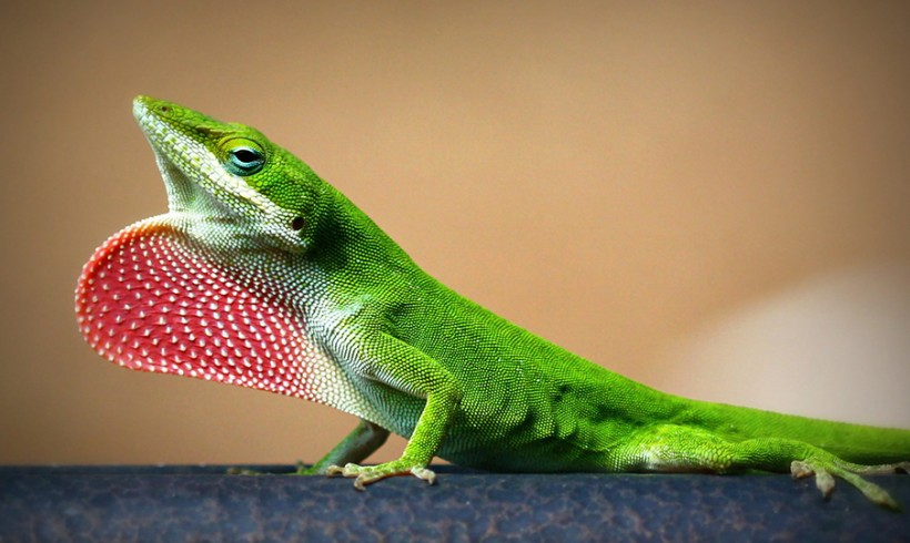 Strawberry Lizard