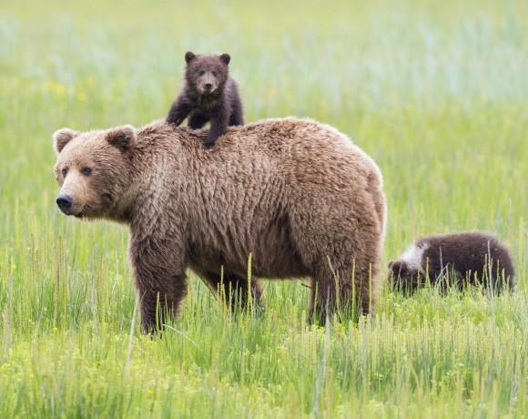 Bears Population
