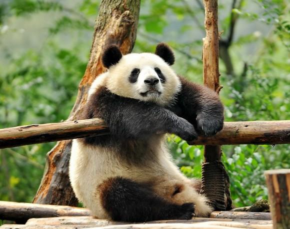 Save China Panda