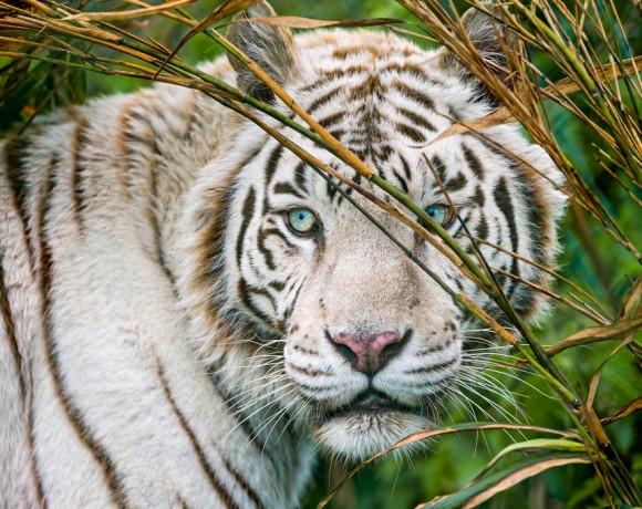 Last White Tiger