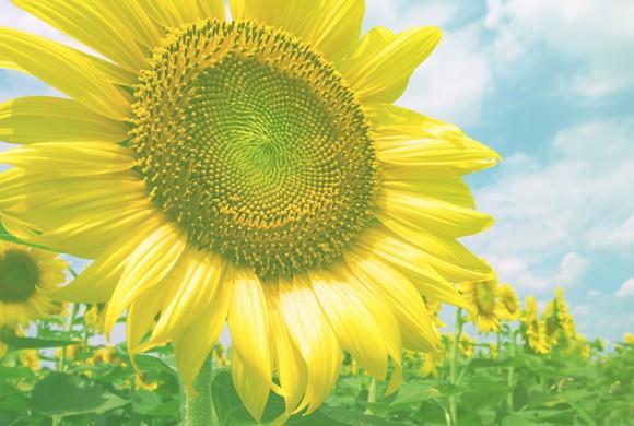 Sunflower Time
